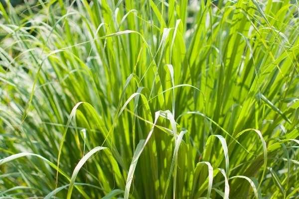 Plantas que repelen mosquitos: Citronela